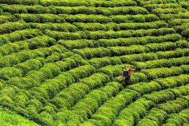 Çay ve yaşam