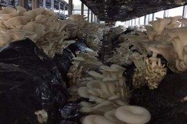 Kalkandere'de İstiridye Mantarı Üretimi