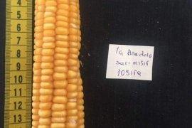 Yerli mısır nasıl olmalı?