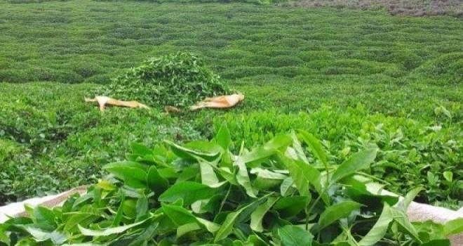 Yaş çay Destekleme Paraları Hesaplara Yatırıldı