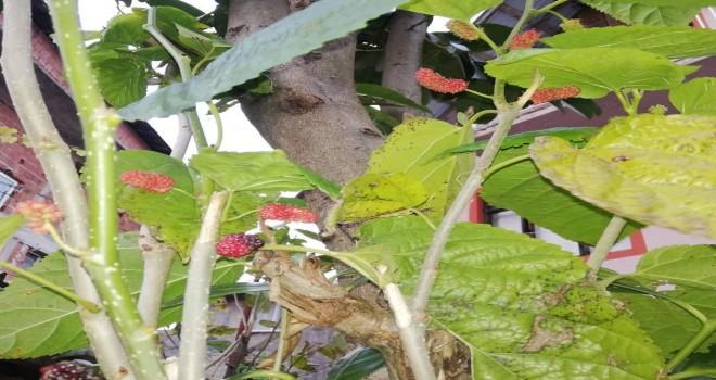 Kalkandere'de dutlar meyve verdi!