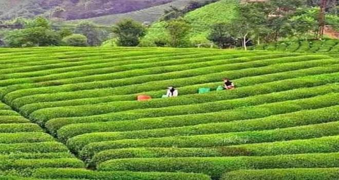 Çay üreticisi bayram yasaklarından muaf tutulacak