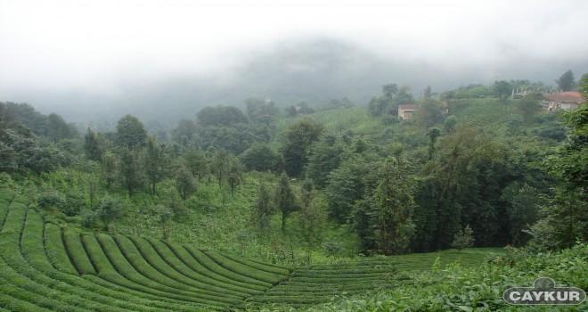 Çay üreticileri için genelge