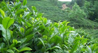 Başbakan Yaş Çay Fiyatını Açıkladı