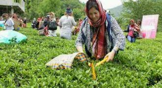 yaş çay Destekleme Paraları Yatırıldı
