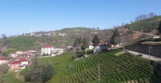 Çay bahçelerinin budanması projesi uzatıldı