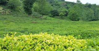 Sarı Çay Nasıl Üretilir ve Faydaları